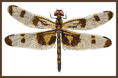 BORDER aaFemale Banded Pennant super clo