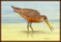 Hudsonian Godwit CROP BORDER.LQ.jpg