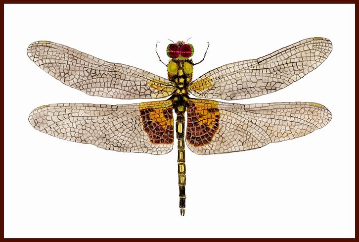 Male Amandas Pennant Dragonfly w BORDER.