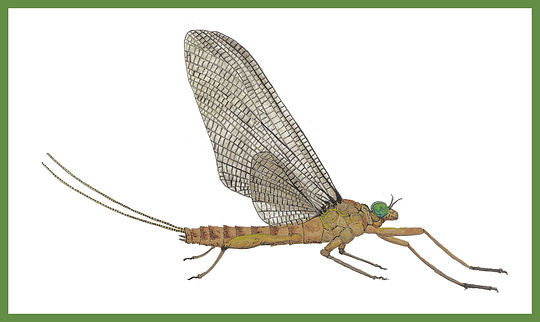 Male March Brown Dun Mayfly  Master bORD