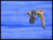 Kestrel CROP BORDER 1.jpg