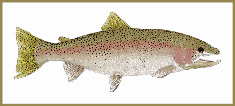 Erie Steelhead Salmon 2020 W BORDER 1.jp