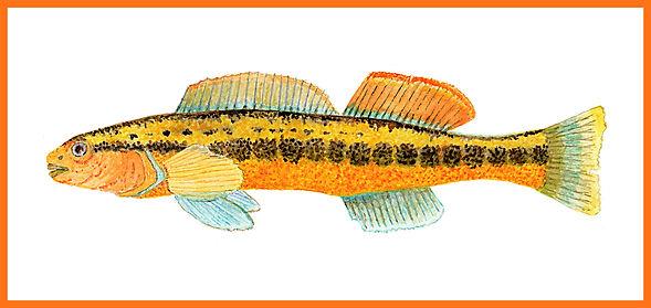 Tangerine Darter Border 1.jpg