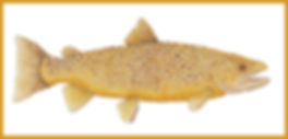 Georgia Brown Trout W BORDER.jpg