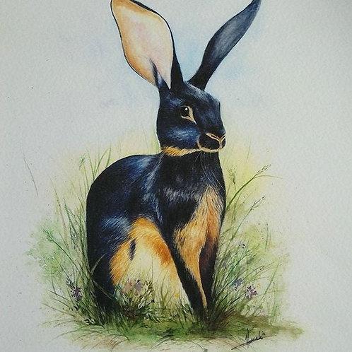 Belgian - Hare