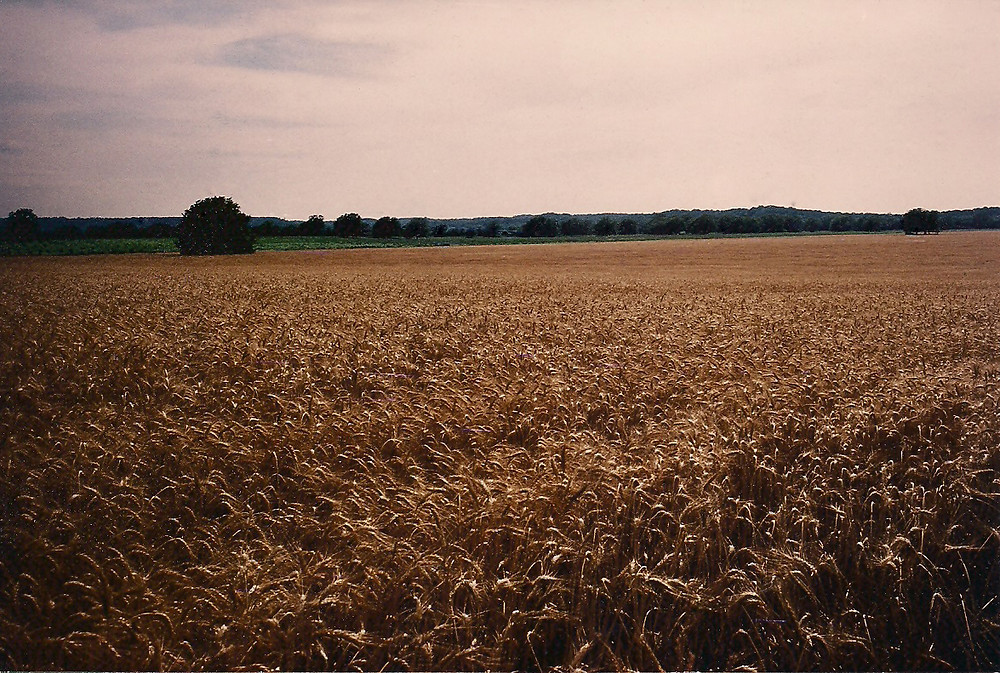 Field of Wheat in Bastrop, TX 1993