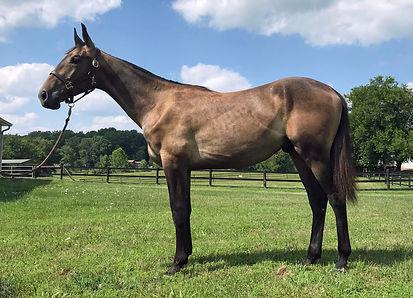 Cleveland bay sporthorse Epiphanybay Bobby Dazzler