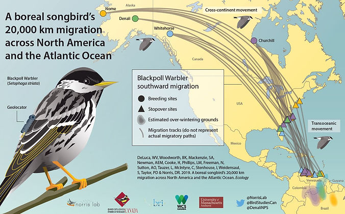 blackpoll migration infographic_edited.j