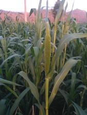 Jowar crop during summer