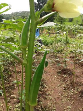 Okra in Baldyachapada