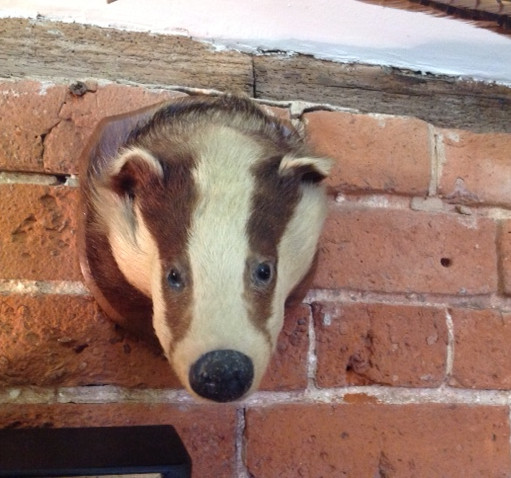 Wall mounted taxidermy badger