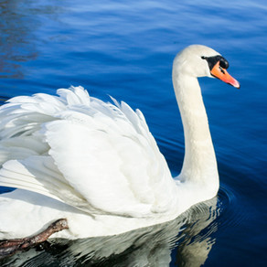 Swanlike and ready to share