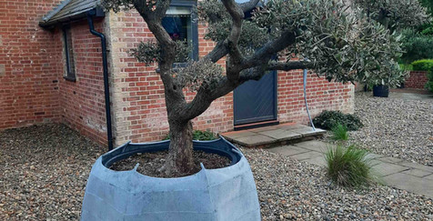 Beautiful olive tree with its new plante