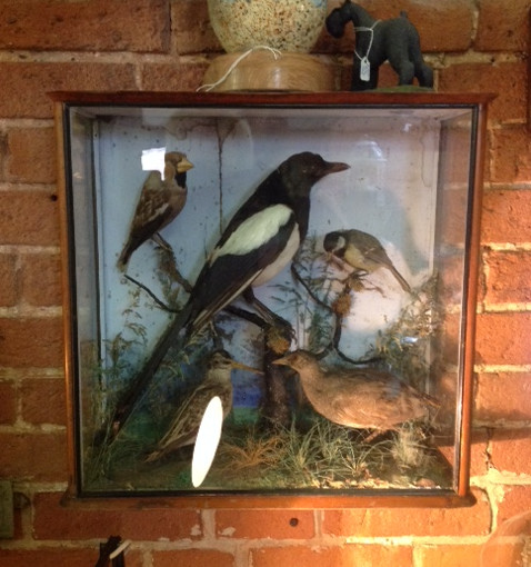 Taxi magpie and other birds cased