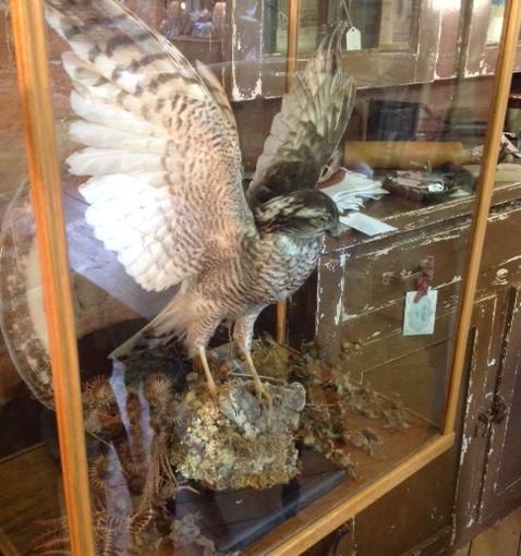 Taxidermy bird in glass case