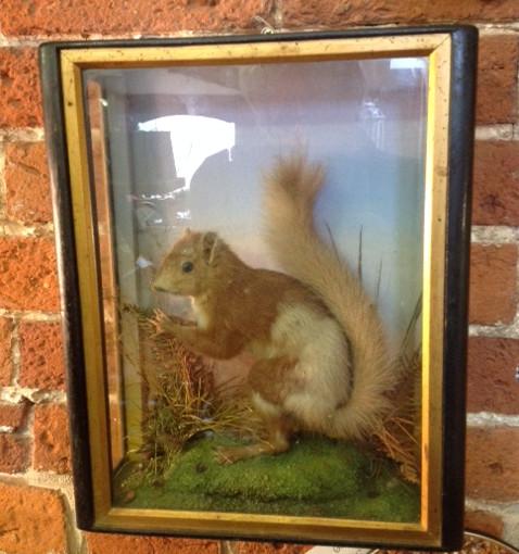 Taxidermy squirrel in case