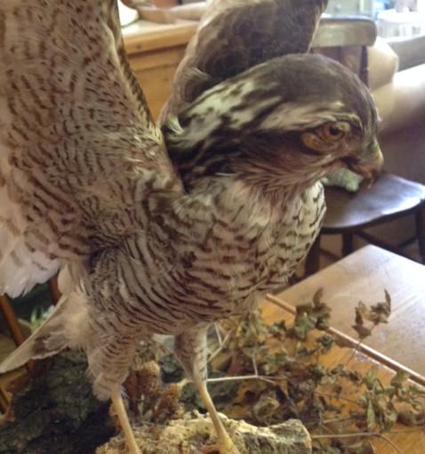 Taxidermy hawk