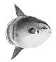 poisson-lune.png