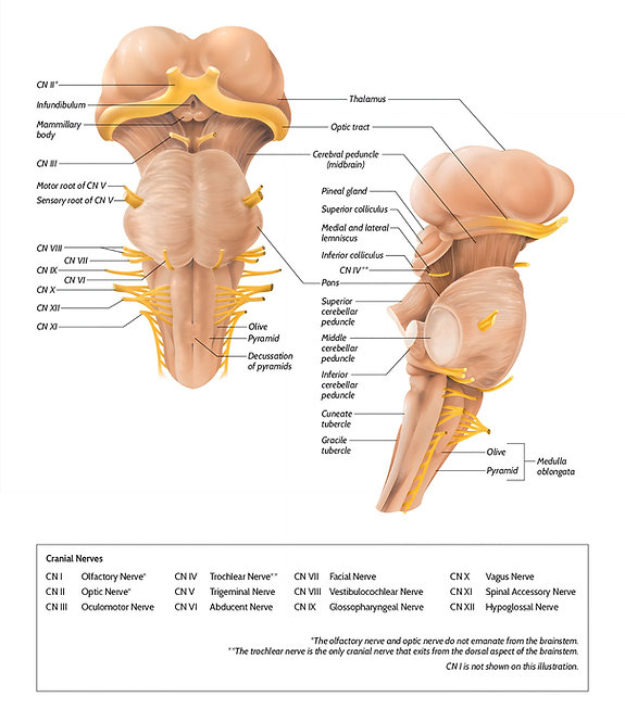 brainstem and thalamus