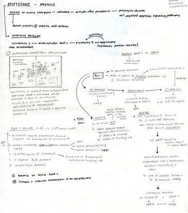 apoptosome notes