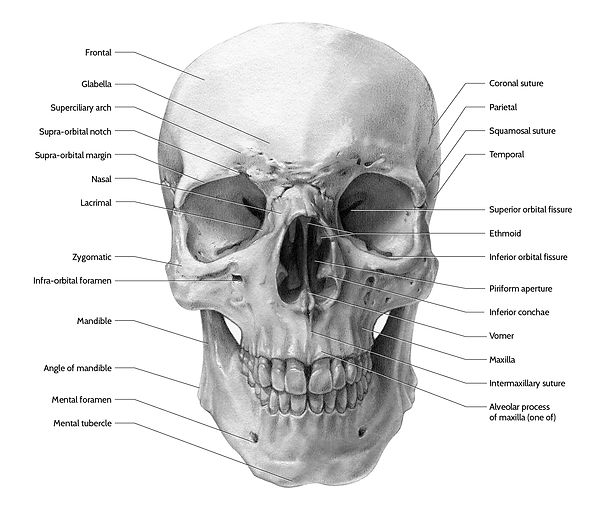 anterior view of the human skull