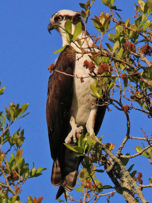 San Marco Osprey
