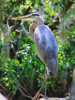 Great blue heron in the shade