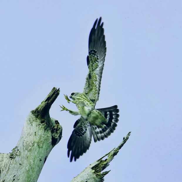 Young swallow tail kite