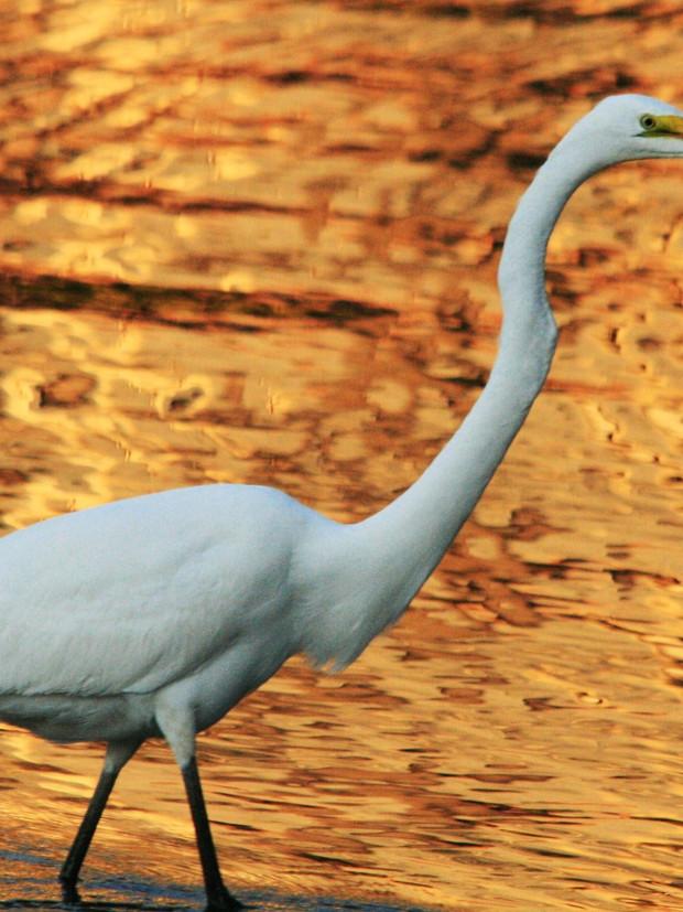 Great San Marco Egret