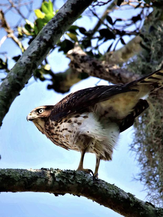 San Marco Coopers Hawk 2