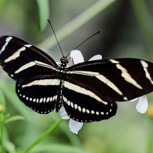 Long wing zebra