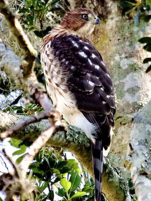 San Marco Coopers Hawk