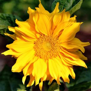 Yellow Chyrsanthenum
