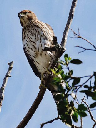 Young Coopers Hawk