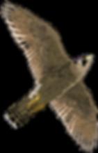 American-Kestrel-Transparent-Images.png