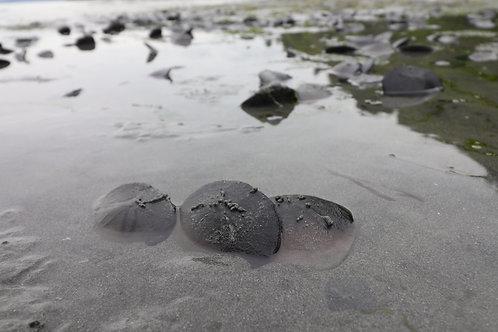 Sanddollar Huddle