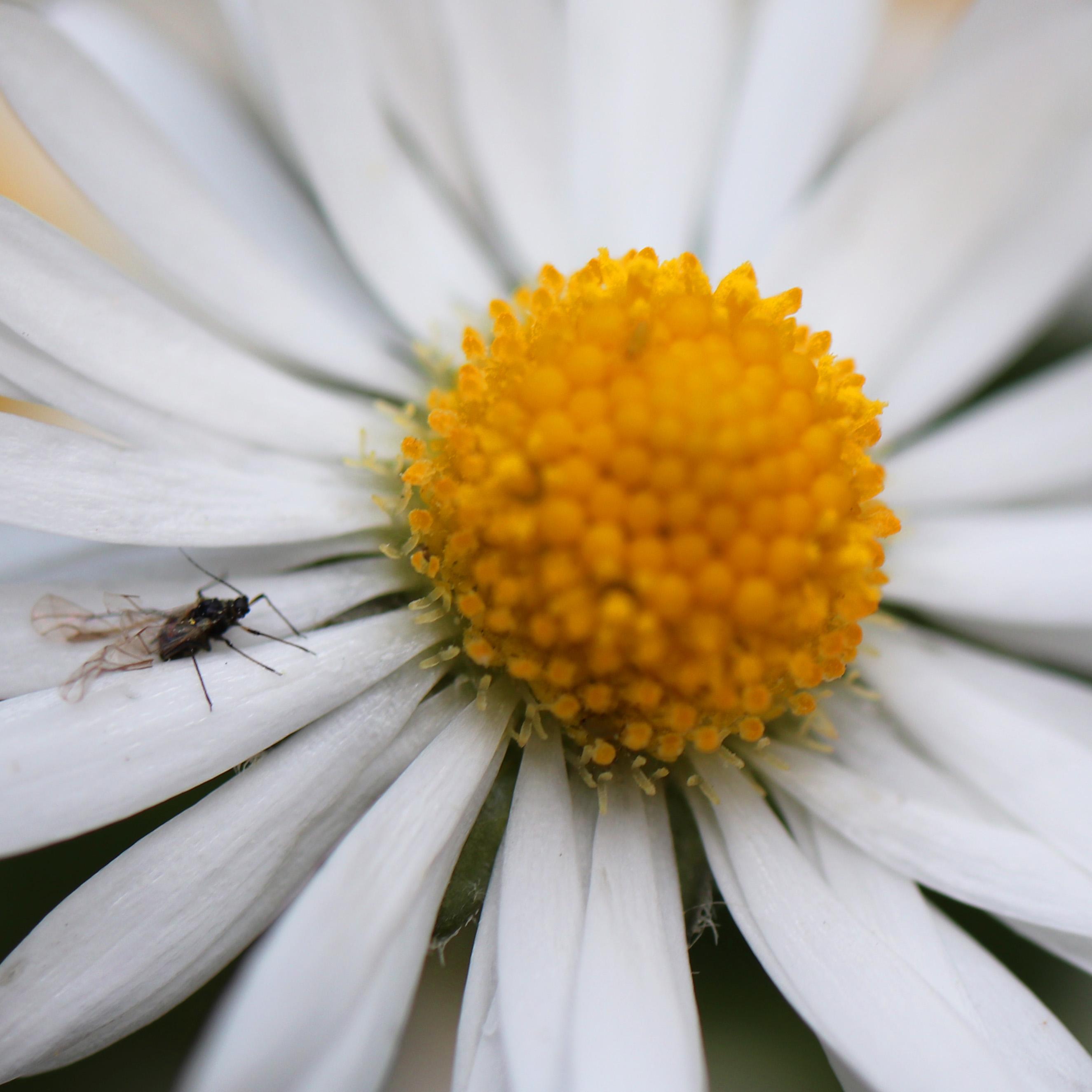 Closeup Dasiy