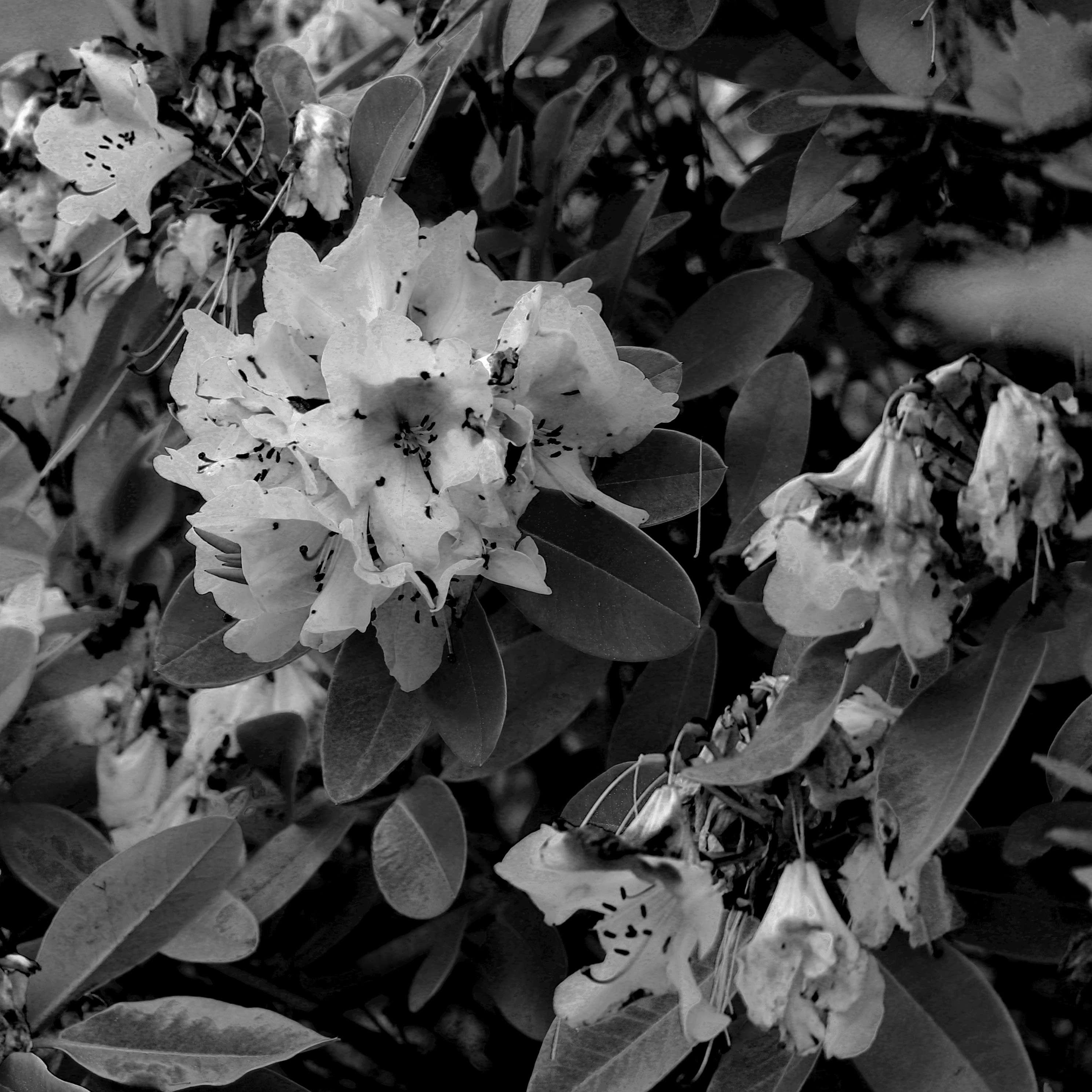 RhododendronB&W