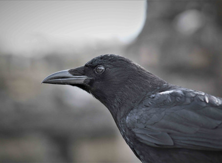 All Seeing Crow