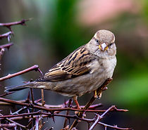 House Sparrow (12 of 30).jpg
