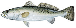 spotted-sea-trout.jpg