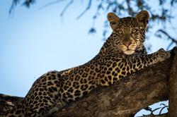 Leopard DTours 2018