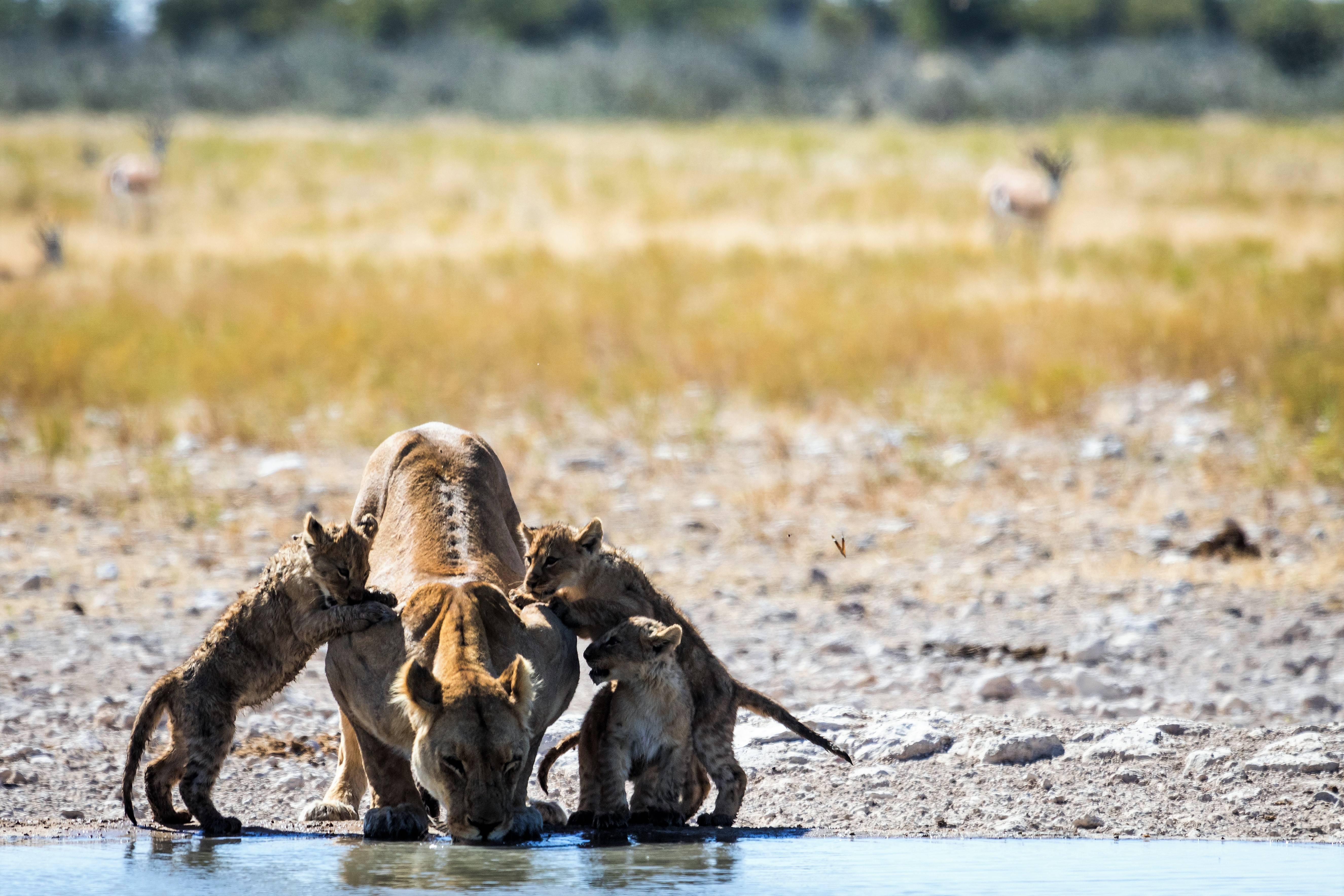 Lion at watering hole DTours 2018