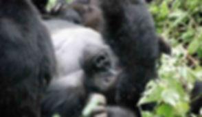 gorilla_lying.jpg