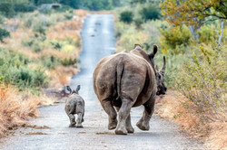 Rhino & Calf DTours 2016
