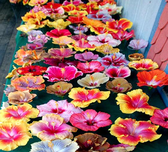 hibiscusblooms.jpg