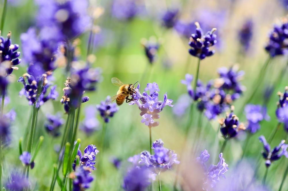 Lavendel - Lavandula angutifolia