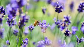 Nervenstärkend und beruhigend in ängstlichen Zeiten - Lavendel