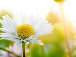 Gänseblümchen - Ein Bote des Lebens
