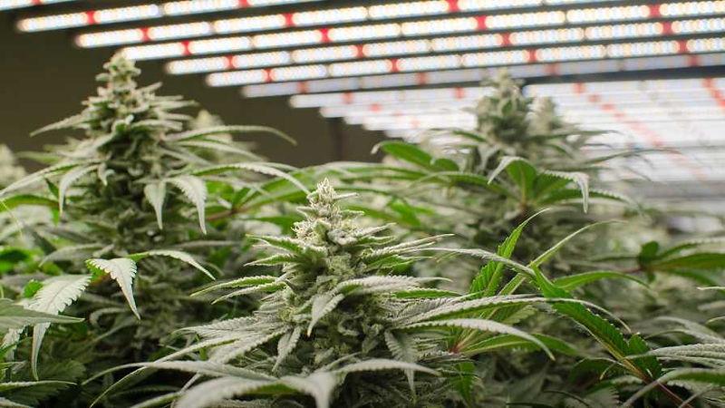 led grow cbd blüten.jpg